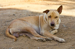 Homeless stray brown dog Royalty Free Stock Image