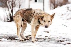 Homeless stray dog Royalty Free Stock Photos