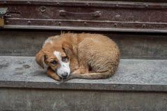 Homeless stray dog. In Kathmandu looking at the camera Royalty Free Stock Photos