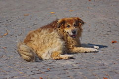 Homeless stray dog Royalty Free Stock Images