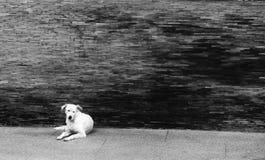 Homeless stray dog laying at urban road Stock Images