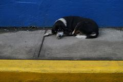 Homeless stray dog sleeping on the narrow concrete sidewalk with yellow border and bright blue wall on the background Royalty Free Stock Photo