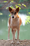 Homeless stray Thai dog Royalty Free Stock Photo