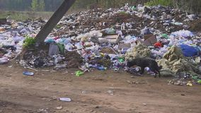 Homeless street dogs search for food in garbage trash. country dump. INDIA - CIRCA JUNE 2016 - Homeless street dogs search for food in garbage trash, Mumbai stock footage