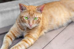 Homeless tabby red cat with green eyes resting at city street. Striped orange wild kitten lying on wooden surface at park Stock Photo