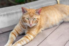 Homeless tabby red cat with yellow eyes resting at city street. Striped orange wild kitten lying on wooden surface at park Stock Images