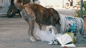 Homeless, Thin and Hungry Dog Dig in a Garbage can on the Street. Asia, Thailand, Pattaya. A miserable stray dog with a head climbs into a bucket of garbage in stock video footage