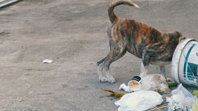 Homeless, Thin and Hungry Dog Dig in a Garbage can on the Street. Asia, Thailand, Pattaya. A miserable stray dog with a head climbs into a bucket of garbage in stock footage