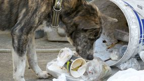 Homeless, Thin and Hungry Dog Rummages in a Garbage can on the Street. Asia, Thailand. Pattaya. A miserable stray dog with a head climbs into a bucket of stock video footage