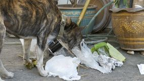 Homeless, Thin and Hungry Dog Rummages in a Garbage can on the Street. Asia, Thailand. Pattaya. A miserable stray dog with a head climbs into a bucket of stock footage