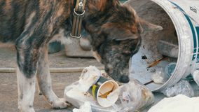 Homeless, Thin and Hungry Dog Rummages in a Garbage can on the Street. Asia, Thailand. Pattaya. A miserable stray dog with a head climbs into a bucket of stock video