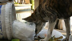Homeless tiger-colored dog is looking for food in a trash can on the street. The problem of stray animals. A homeless tiger-colored dog is looking for food in a stock video footage