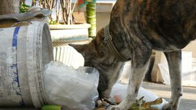 Homeless tiger-colored dog is looking for food in a trash can on the street. The problem of stray animals. A homeless tiger-colored dog is looking for food in a stock footage