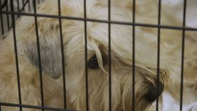 Homeless Wheaten Terrier at dog shelter with eyes full of sadness and sorrow
