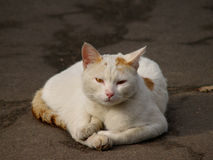 Homeless white cat Royalty Free Stock Photos