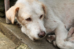 The homeless white dog on side street Royalty Free Stock Photos