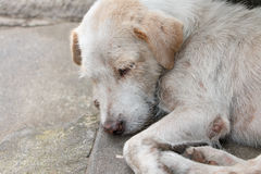 The homeless white dog on side street Royalty Free Stock Images