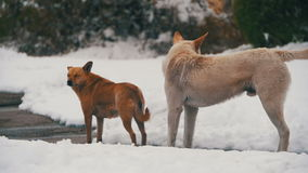 Homeless White and Grey Dogs on a Snowy Street in Winter. Slow Motion. Homeless White Dogs on a Snowy Street in Winter. Slow Motion in 96 fps. The dog has no stock footage