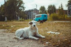 Homeless wild dog in old radioactive zone in Pripyat city - abandoned ghost town after nuclear disaster. Chernobyl stock photo