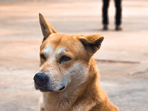 Homelessness dog. Portrait of a lonely stray dog ​​in Thailand Royalty Free Stock Images