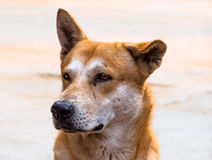 Homelessness dog. Portrait of a lonely stray dog ​​in Thailand Stock Photo