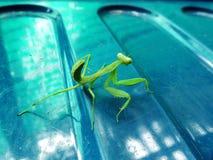 Homelsee green mantis Stock Photo
