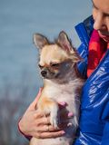 Homely relax. Small Chihuahua dog in sits in woman hands. Forever together.  stock images