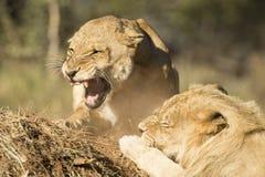 Homem africano e fêmea do leão que rosnam (Panthera leo) Afric sul Imagens de Stock