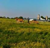 Homem Amish que ara um campo com uma equipe das mulas imagem de stock royalty free