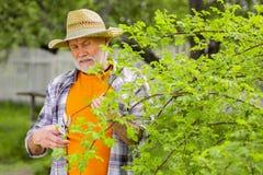 homem aposentado farpado Cinzento-de cabelo no chapéu de palha que corta ramos fotos de stock