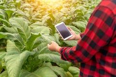 Homem asiático do fazendeiro que examina a qualidade de explorações agrícolas do cigarro pelos fazendeiros que usam a tecnologia  imagens de stock