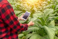 Homem asiático do fazendeiro que examina a qualidade de explorações agrícolas do cigarro pelos fazendeiros que usam a tecnologia  foto de stock