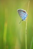 Homem azul comum (Polyommatus Ícaro) Fotografia de Stock