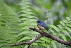 Homem azul do papa-moscas do monte, pássaro selvagem em Vietname Fotos de Stock