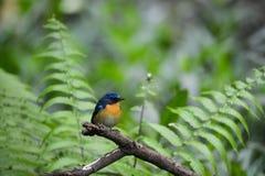Homem azul do papa-moscas do monte, pássaro selvagem em Vietname Imagens de Stock Royalty Free