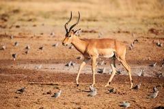 Homem bonito da impala, melampus do Aepyceros fotografia de stock royalty free