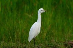 Homem branco do Egret Fotografia de Stock Royalty Free