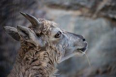 Homem caucasiano do leste novo do tur na pedra Nome latino - cylindricornis que da cabra olha pensativamente na dist?ncia fotos de stock