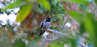 Homem colorido Anna Hummingbird Attracting Its Mate imagem de stock