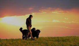 Homem com cães Fotos de Stock