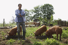 Homem com os braços cruzados por porcos no chiqueiro foto de stock royalty free