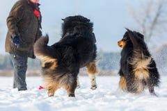 Homem com os cães na neve Imagem de Stock Royalty Free