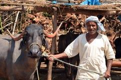 Homem com a vaca Foto de Stock