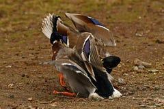 Homem comum do pato do pato selvagem dois, luta na primavera sobre a fêmea fotos de stock royalty free