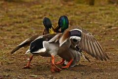 Homem comum do pato do pato selvagem dois, luta na primavera sobre a fêmea imagem de stock royalty free