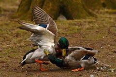 Homem comum do pato do pato selvagem dois, luta na primavera sobre a fêmea foto de stock