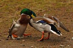 Homem comum do pato do pato selvagem dois, luta na primavera sobre a fêmea fotos de stock