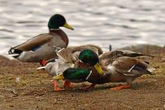 Homem comum do pato do pato selvagem dois, luta na primavera sobre a fêmea imagem de stock