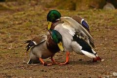 Homem comum do pato do pato selvagem dois, luta na primavera sobre a fêmea foto de stock royalty free