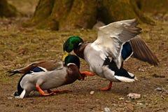 Homem comum do pato do pato selvagem dois, luta na primavera sobre a fêmea fotografia de stock royalty free